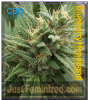 Emerald Triangle Blueberry Headband CBD Fem 5